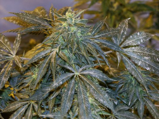 Prevention And Treatment Of Powdery Mildew On Cannabis And
