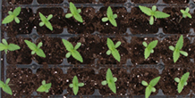 Cannabis Germination Guide